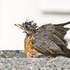 American Robin<br /> 27 AUG 2007