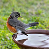 "Antonio, our male American Robin!<br />  ""Yes, your tail feathers got wet!"""