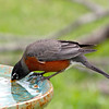 Antonio, the American Robin, quenching his thirst at the water cooler!