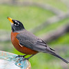 Antonio, the male American Robin, visits the spa to relax and contemplate his journey.