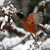 American Robin<br /> 19 JAN 2012