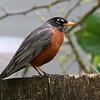 American Robin<br /> 09 APR 2009