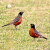 American Robins (Male)