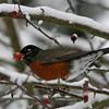 American Robin<br /> 21 DEC 2008