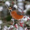 American Robin<br /> 16 JAN 2012