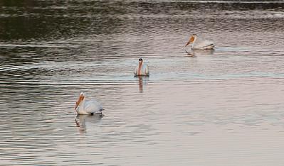 American white pelican IMG_2908
