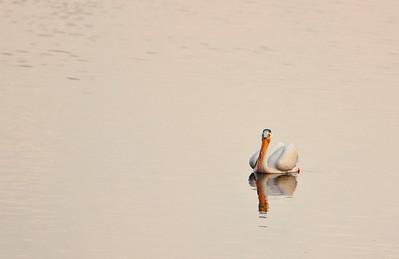 American white pelican IMG_2899 (2)