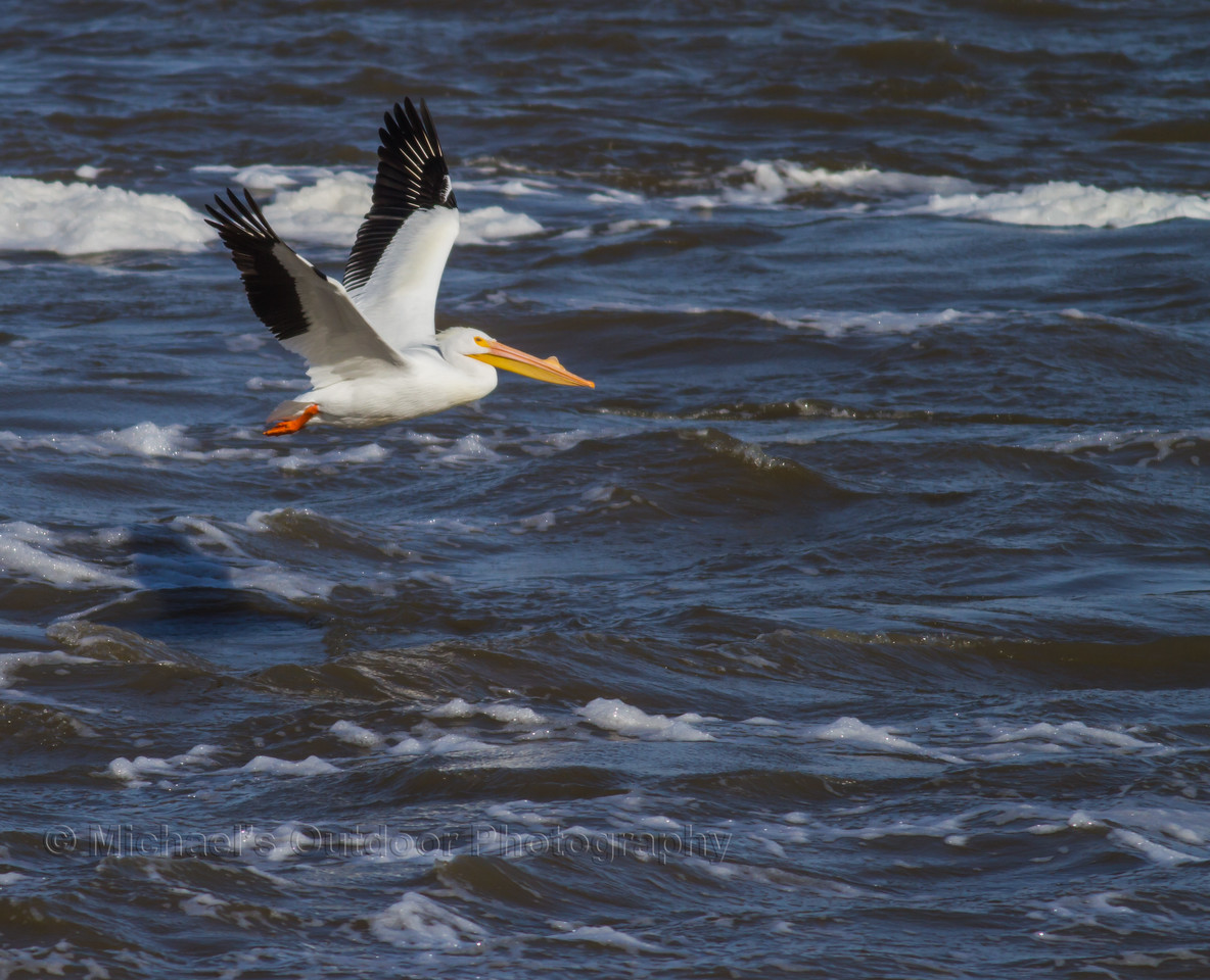 American White Pelican. Photo created 2/17/2013 at Lock and Dam 22 on the Mississippi river.