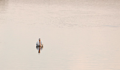 American white pelican IMG_2898 (2)