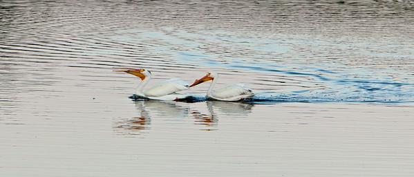 American white pelican IMG_2914