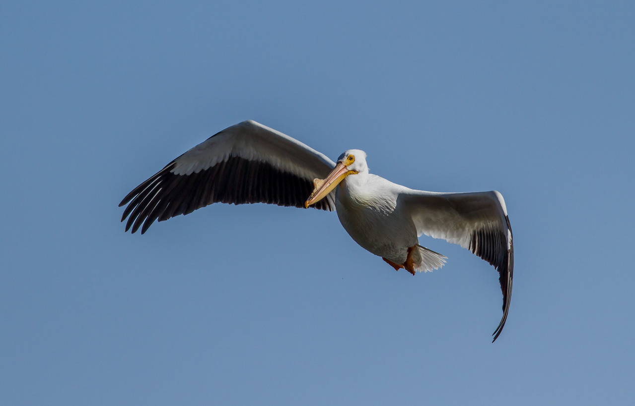American White Pelican taken on 3/8/2013 at Lock and Dam 22 on the Mississippi River.