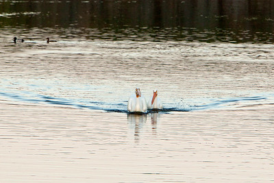 American white pelican IMG_2913