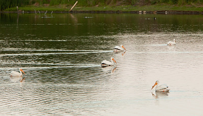 American white pelican IMG_2905