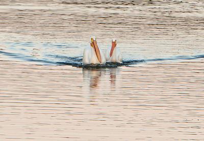 American white pelican IMG_2912 (2)