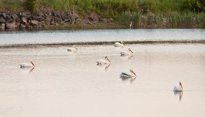 American white pelican IMG_2882