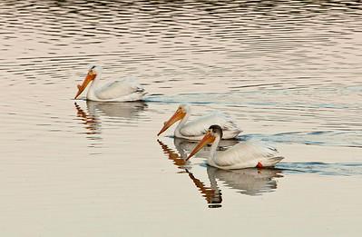 American white pelican IMG_2927