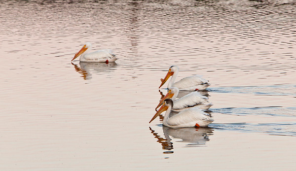 American white pelican, North Dakota