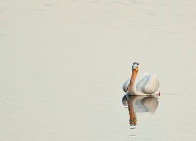American white pelican IMG_2899a