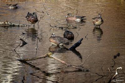 Ducks0U2A7693