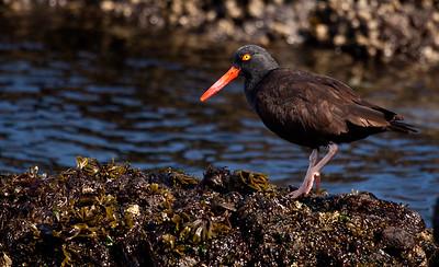 Black oyster-catcher