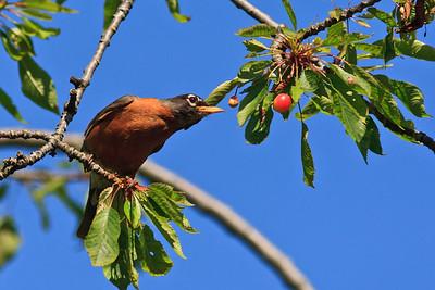 Robin eying a cherry