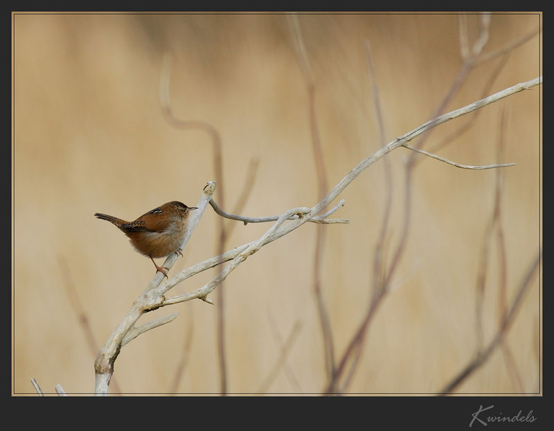 Little Wren with a big voice.