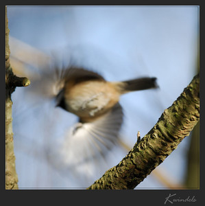 ... now you don't.  Peek-a-boo ... a chickadee's favorite game.