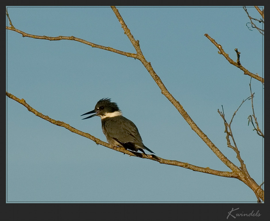 A noisy Belted Kingfisher