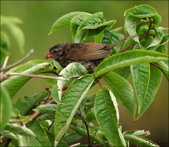 Sparrow (?) enjoys some berries.