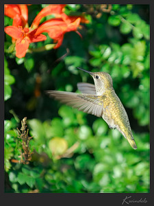 Hummingbird -- best guess is that it's either an Anna's or an immature Black-chinned.