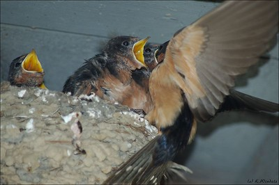 Lunch time at the Barn Swallow nest