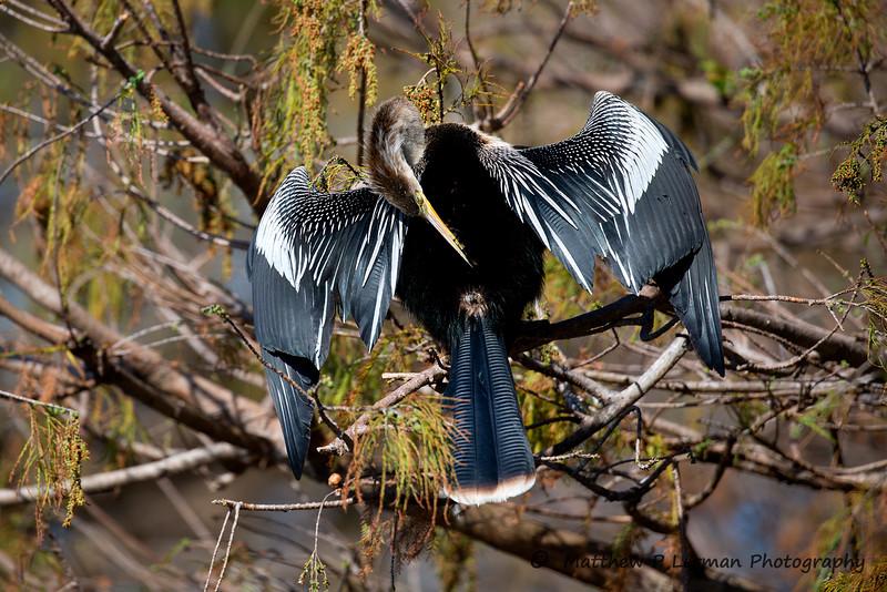 Anhinga Preening his feathers