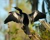 Anhinga  - Snake birds Anhinga