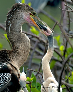 Anhinga female about to feed its young