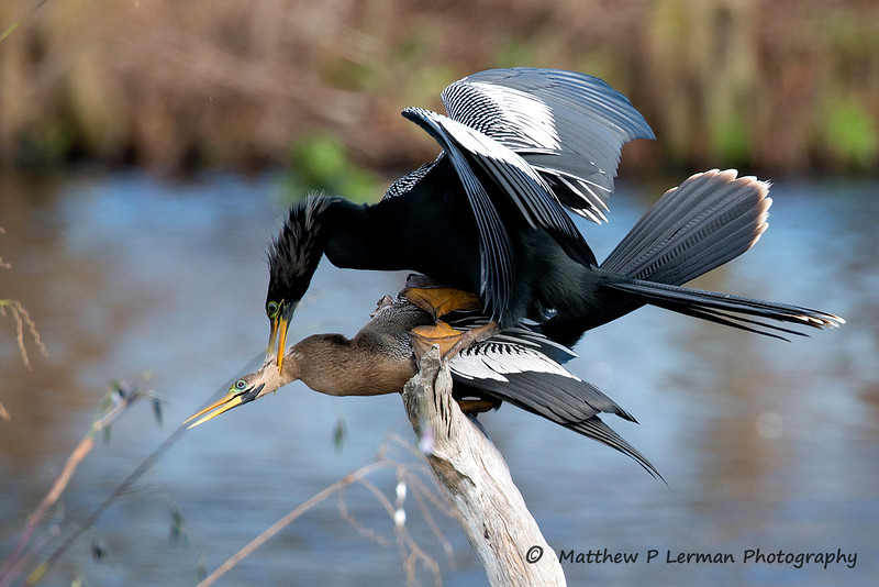 Anhinga Copulation--beginning