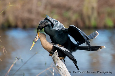 Anhinga copulation in progress