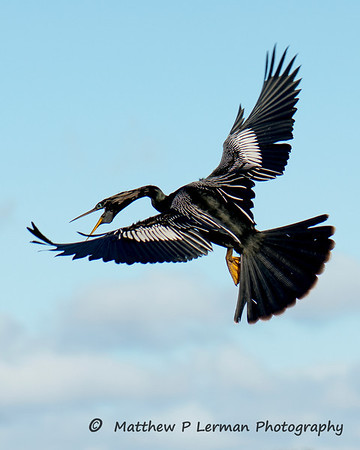 Startled Anhinga