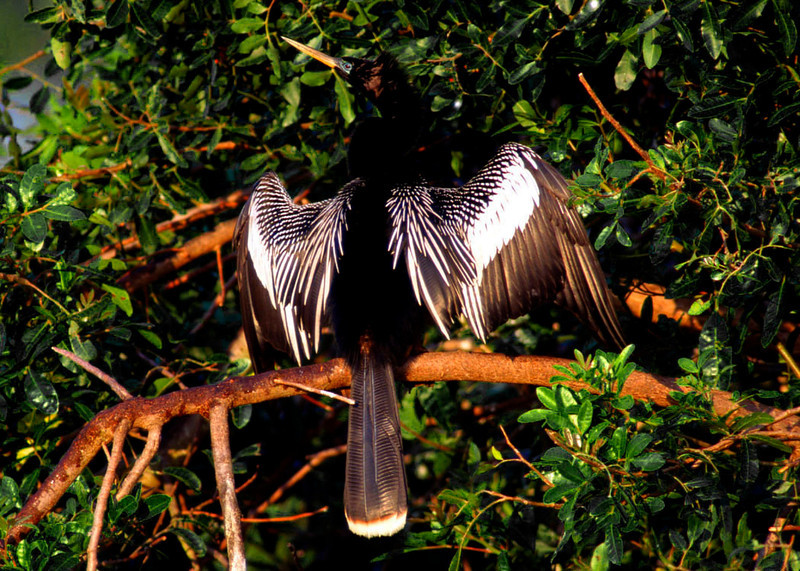 Anhinga drying wings, Male, Everglades