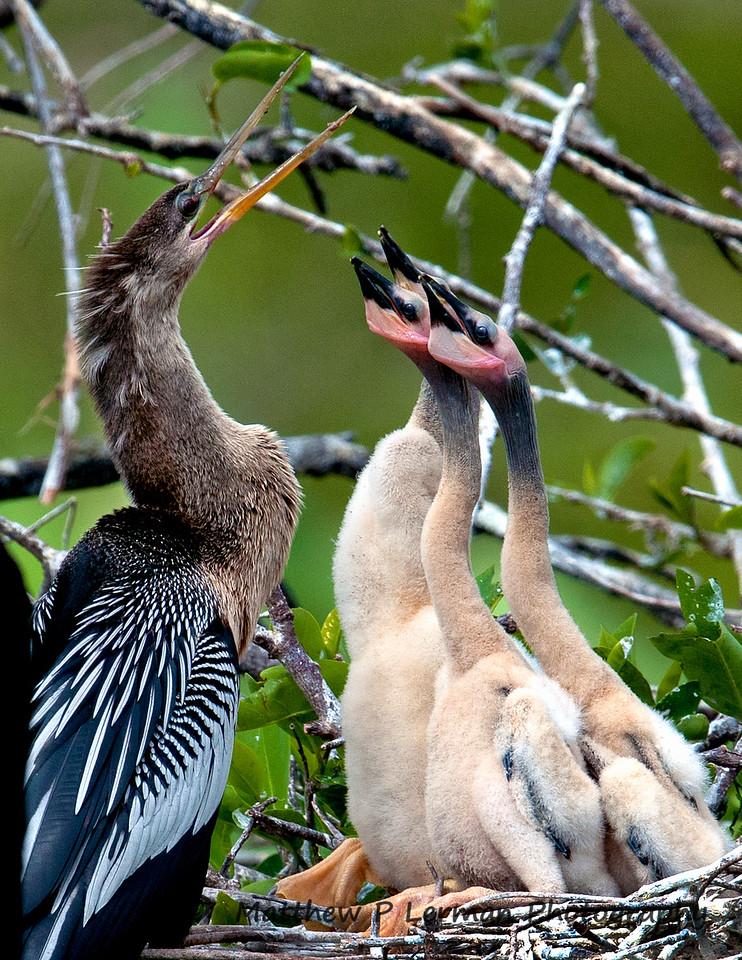 Anhinga female and chicks
