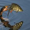 C the Anhinga with Fish