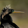 <b>Title - Anhinga Warrior</b> Honorable Mention <i>- Meg Puente</i>
