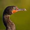 Description - Cormorant - Breeding Color <b>Title - A Cormorant eye is as beautiful as any polished piece of jade</b> <i>- Lance Warley</i>
