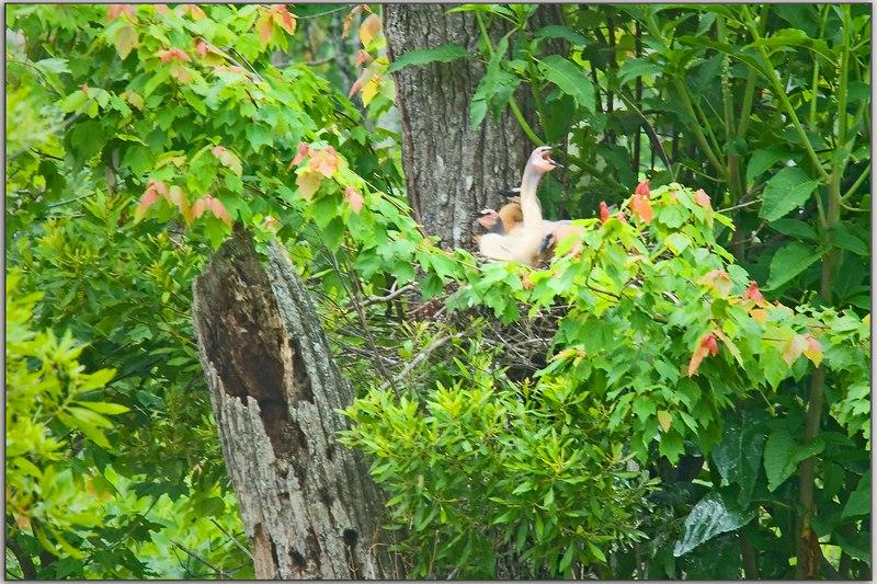 Anhinga Chicks on the nest