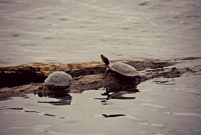 Turtles, WA