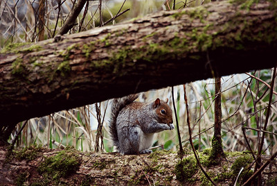 Grey Squirrel, Green Lake, Seattle, WA
