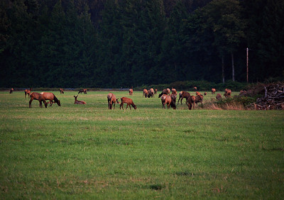 Herd of Elk, Skagit Valley, WA