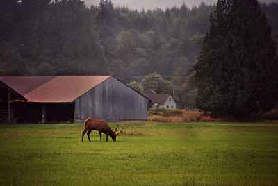 Male Elk Grazing, Skagit Valley, WA