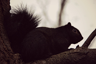 Black Squirrel, Reifel Wildlife Refuge, BC