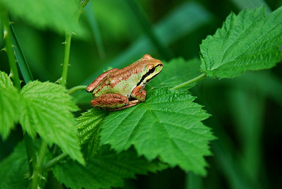 Northern Pacific Tree Frog, Mount St. Helens, WA