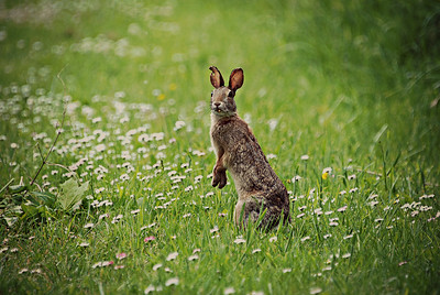 Eastern Cottontail, WA
